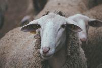 В Тюменской области за 6 млрд рублей построят фермы для овец и индеек