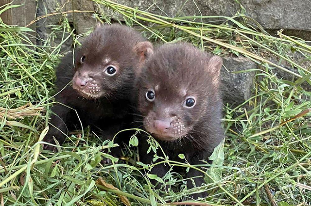 Родителями малышей стали и кустарниковые собаки Боб и Мана - в июне у них родились две самки.