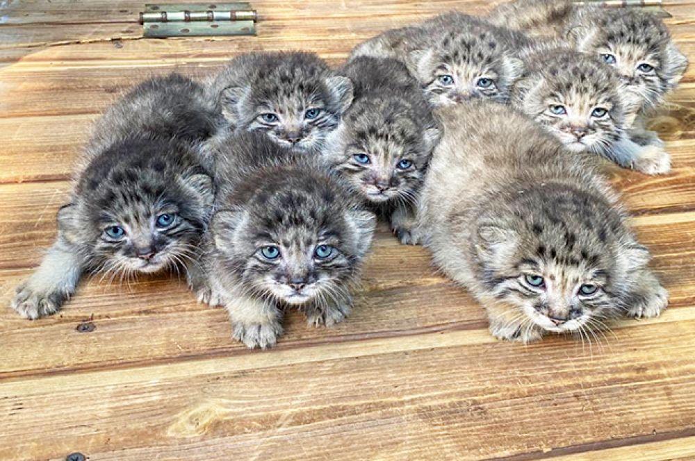 Конечно, в зоопарке не обходится и без пополнений. Три самки манулов недавно принесли потомство. Сегодня в зоопарке 16 таких детёнышей.