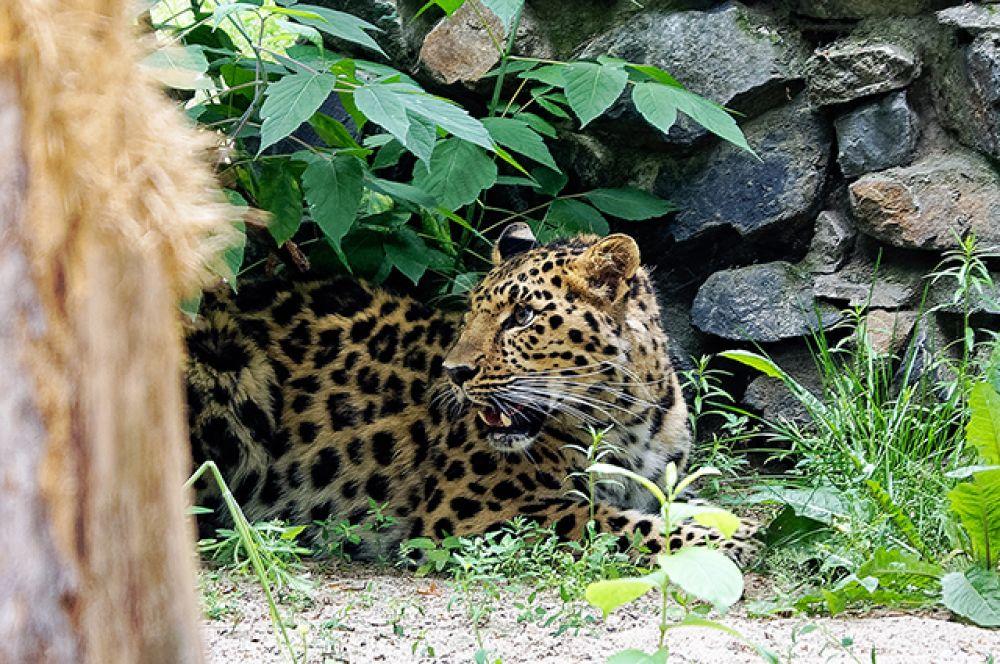 Известно, что Новосибирский зоопарк участвует в программах сохранения редких видов животных. Так, недавно зоопарк получил из Москвы дальневосточного леопарда по имени Дава.