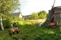 Четверо косолапых поселились недалеко от Печоры и регулярно приходят в центр сельского поселения Каджером. Они ломают заборы и не боятся людей.