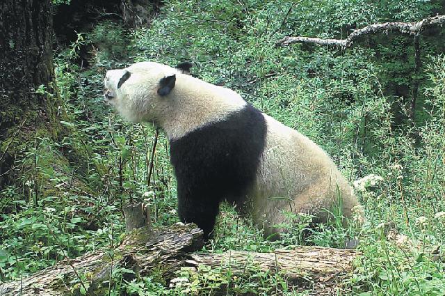 Большая панда, снятая инфракрасной камерой, установленной вприродном заповеднике Байшуйцзян впровинции Ганьсу.