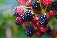 Ежевика: какие полезные свойства скрывает ягода