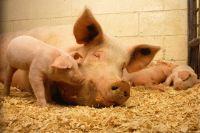 Власти убрали свиней с улиц города в ЯНАО после жалоб населения