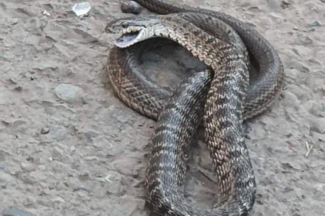 Несмотря на возможную безопасность змеи, некоторые предполагают, что это уж, выглядит она достаточно агрессивно.