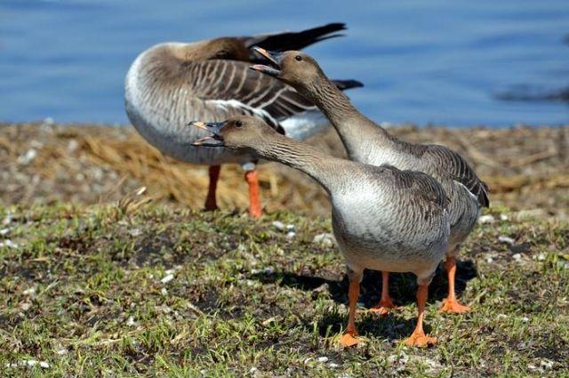 На гусей можно охотиться только на севере края.