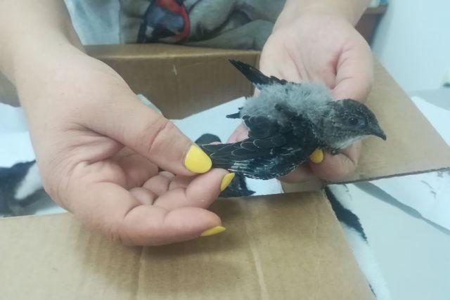 В руки ветеринара попадают птенцы нескольких дней от роду.