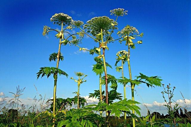 Специалисты обрабатывают ствол, листья, соцветия и семена борщевика.