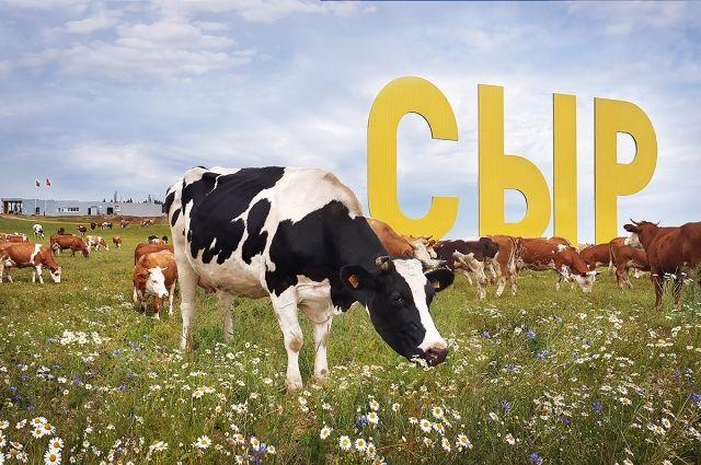 Чтобы сыр был качественным, коров надо кормить правильно.