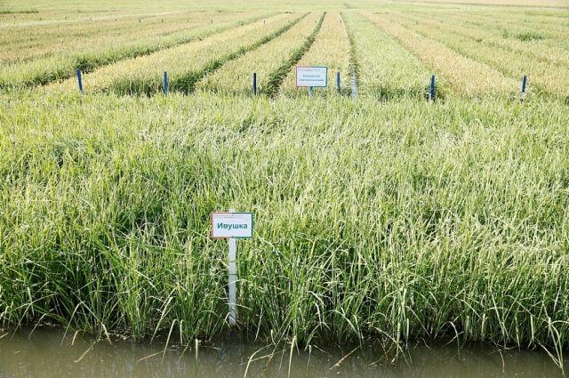 Специалисты считают, что кубанского риса хватит, чтобы накормить страну.