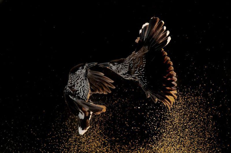 Ссора двух кедровок. Победитель в категории «Поведение птиц».