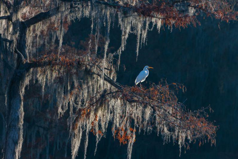 Большая белая цапля, еще один из самых комментируемых снимков конкурса. Участник категории «Птицы в окружающей среде».