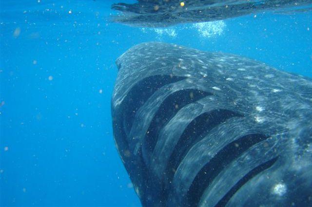 Акула напала на рыбацкую лодку у острова Русский