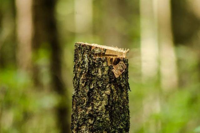 Красноярцы хотят знать, почему на Южном берегу вырубают деревья.