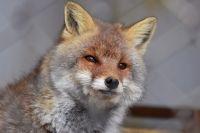 В Ижевске бешеная лиса набросилась на собаку