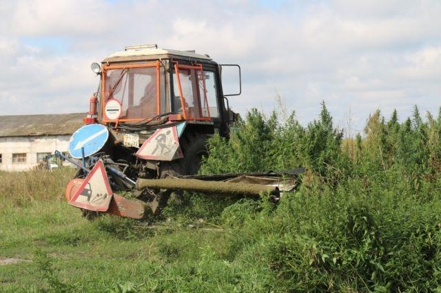 В Тюменской области уничтожено более гектара дикорастущей конопли