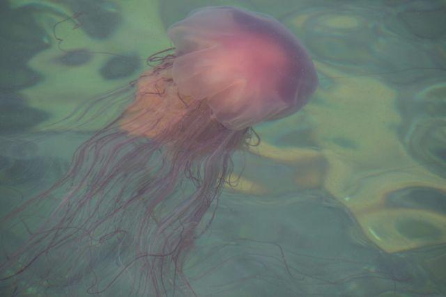 Цветные и крупные медузы - неприятны, но не опасны.