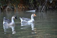 Еще в двух тюменских селах ввели карантин из-за птичьего гриппа