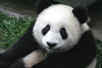 Стоимость панды около миллиона долларов в год.