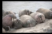 На Ямале ученые исследуют моржей