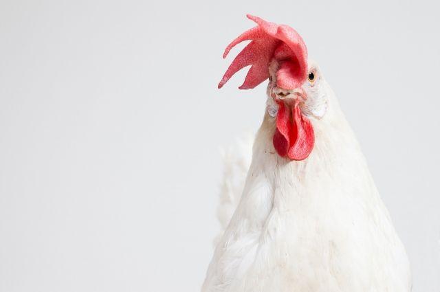 В четырех тюменских селах из-за птичьего гриппа уничтожат домашнюю птицу