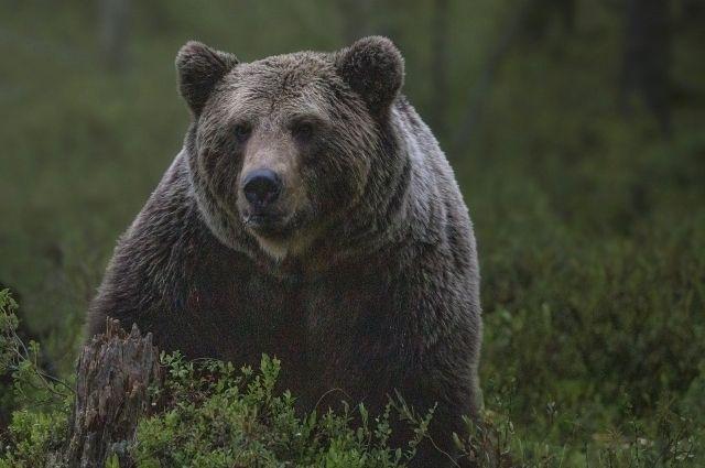 К тюменским рыбакам из леса вышел медведь и съел их улов