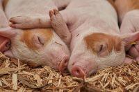 В центре Ижевска замечена гуляющая свинья