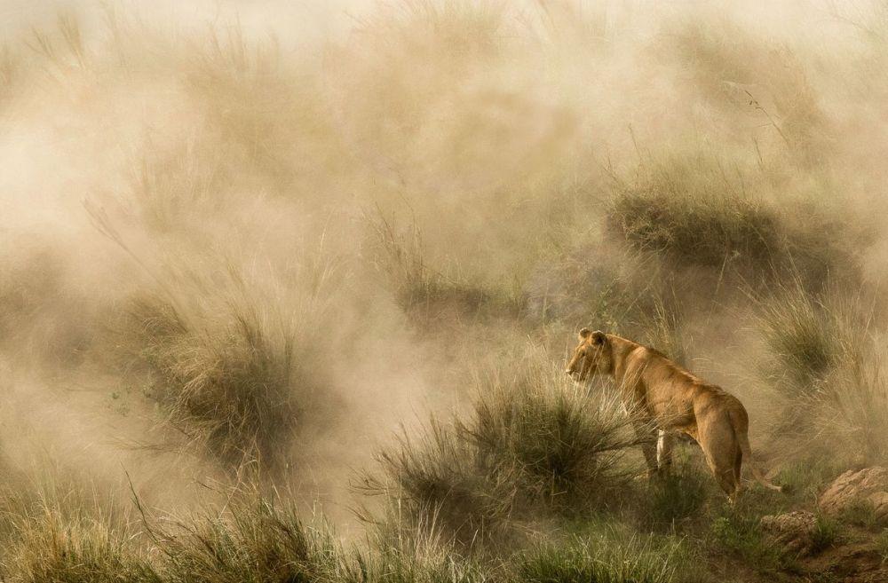 Львица охотится во время пыльной бури на берегу реки Мара в Кении.