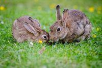 Тюменских кроликов скрещивают с казахстанскими для обновления генетики