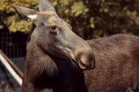 Два диких животных погибли на дорогах Пермского края за неделю.
