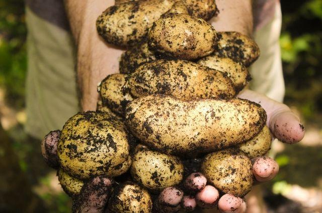Чтобы картофель дольше лежал, он должен быть чистым и сухим.