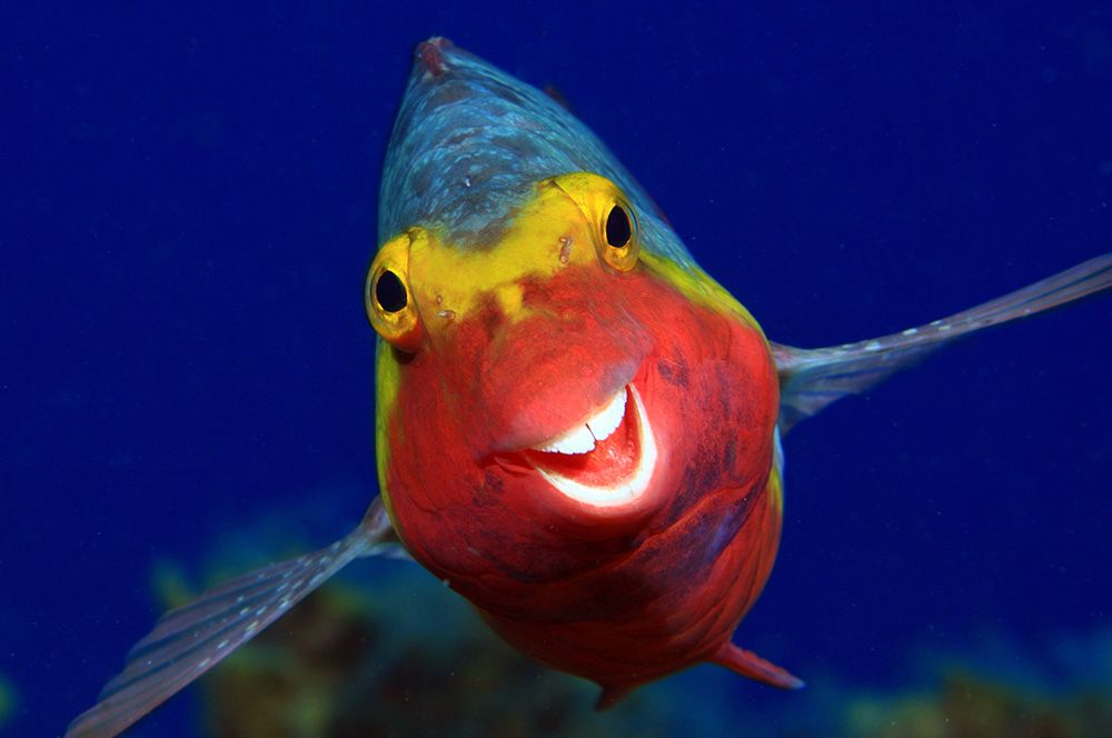 Средиземноморская лора — морская рыба из семейства рыб-попугаев.