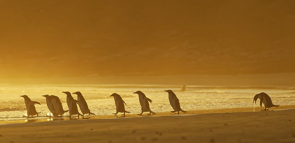 Субантарктические пингвины.