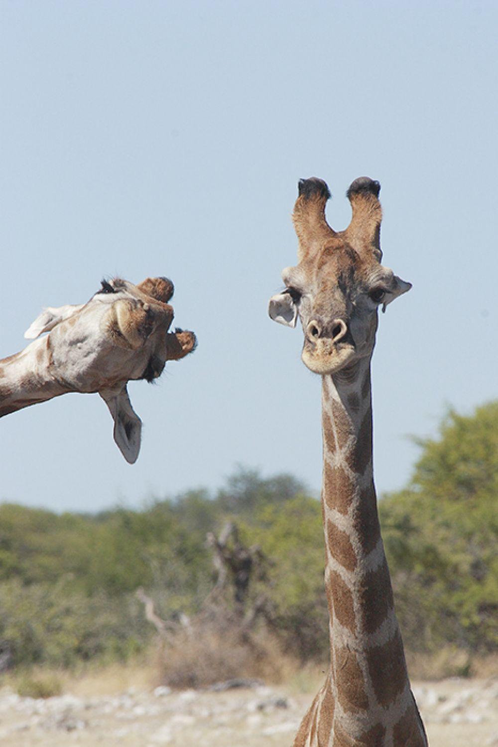Жирафы. «Влез в кадр».