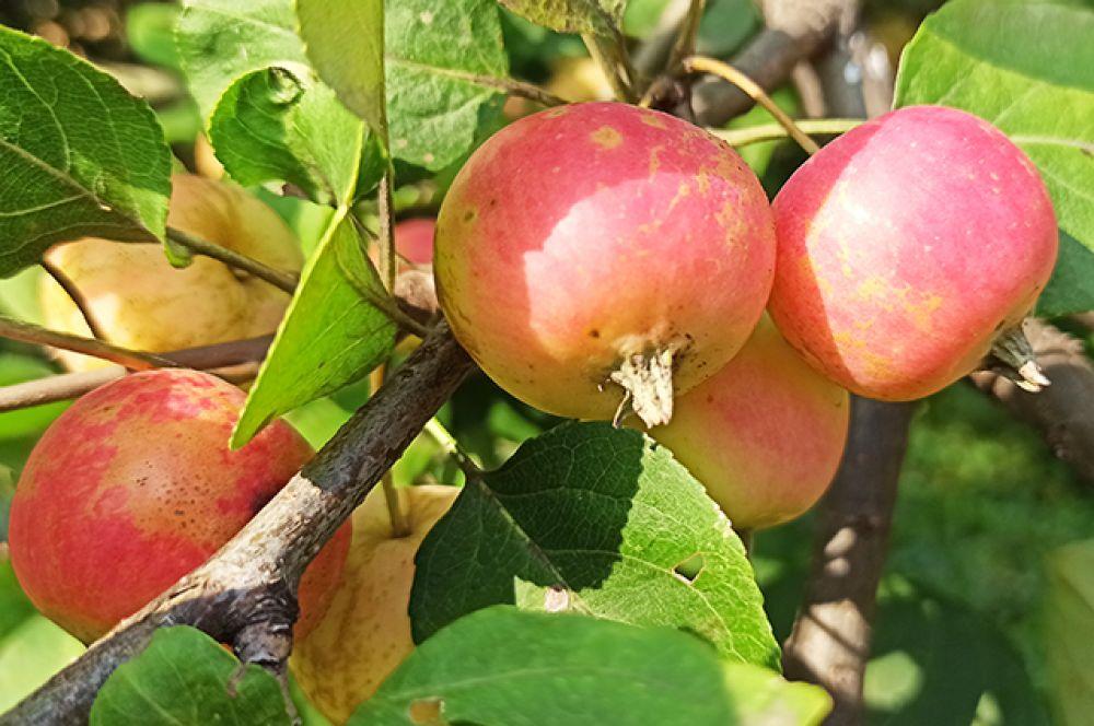 Много в этом году и урожая: овощи, ягоды и, конечно же, фрукты.