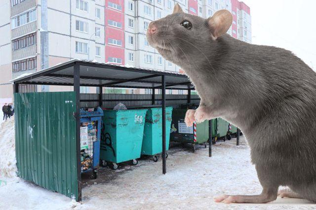Пока крысы оккупировали контейнерные площадки, но с наступлением холодов двинутся зимовать в подвалы жилых домов.
