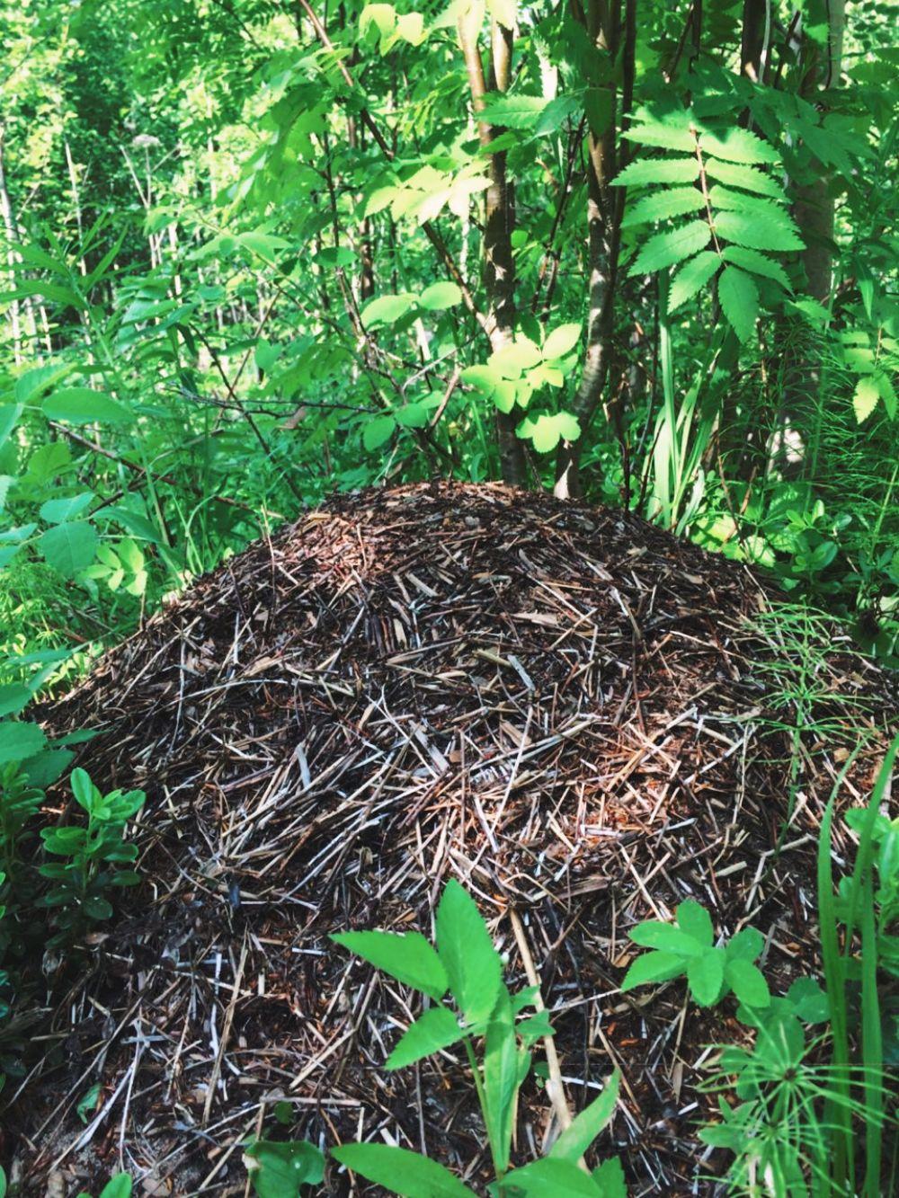 Как говорят лесничие, если заблудились в лесу, поможет простой муравейник. Муравьи строят свои гнезда с южной стороны деревьев или другой растительности