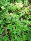 Чернику, как и другие ягоды из семейства брусничных, часто можно встретить в диком виде в лесу