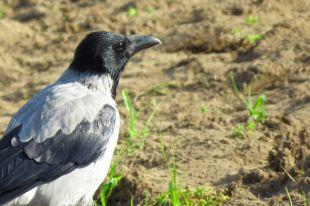 В Саратовской области проводится проверка из-за массовой гибели ворон