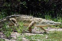 ЮАР предлагает поставлять в Украину крокодилье мясо, - СМИ