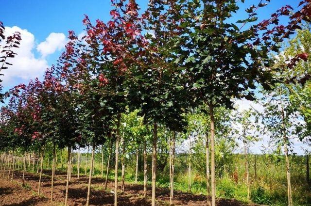 В мэрии признали, что не везде готовы посадить новые деревья.