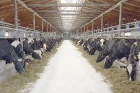 В сельхозпредприятии «Новый путь» применяют круглогодичное содержание скота.