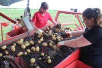 На орошаемых землях на Ставрополье растёт прекрасная картошка, которая продаётся потом по всей России