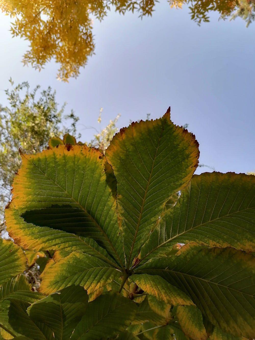 Каштан сопротивляется осени, сдавая желтизне лишь краешки листвы.