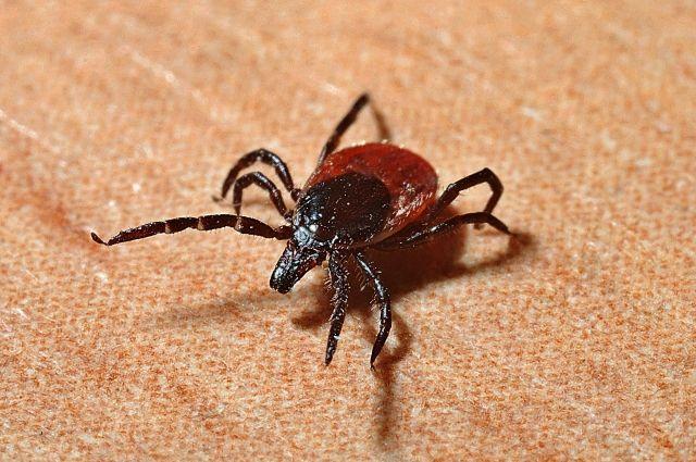Небольшая часть заражений клещевым энцефалитом и другими болезнями, которые переносят иксодовые, по-прежнему происходит при посещении лесных массивов и мест отдыха.