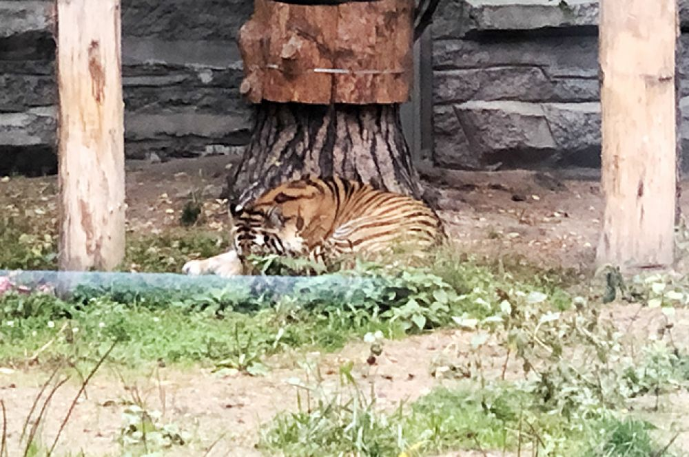 Нежатся под последними тёплыми лучами тигры.