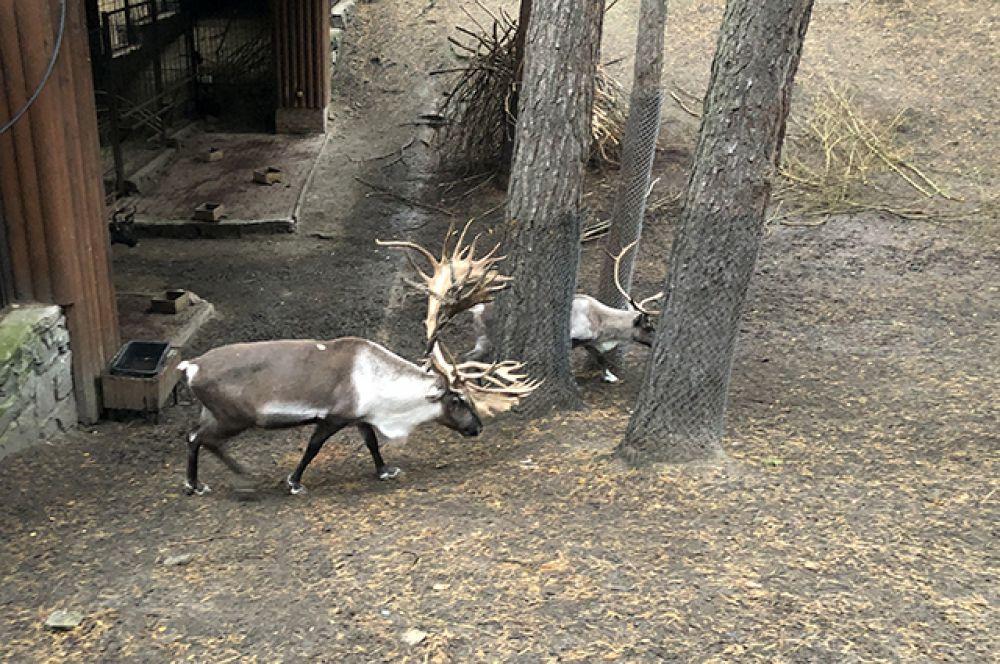 Очаровывают новосибирцев и олени городского зоопарка. В цветах опавшей листвы они представляются почти что сказочными героями.