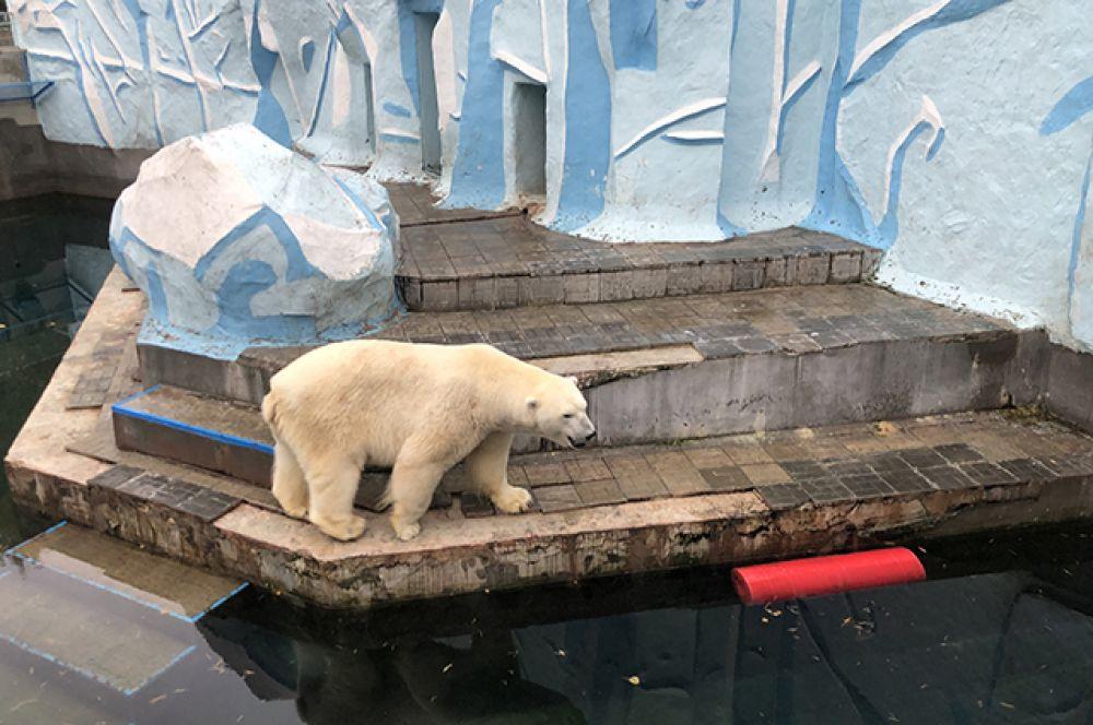 Одни из самых любимых зверей горожан в Новосибирском зоопарке - белые медведи. Кажется, наступление холодной осени и снега они ждут по-особенному.