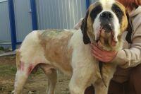 Волонтёры спасли пса от истощения и гноящихся ран.