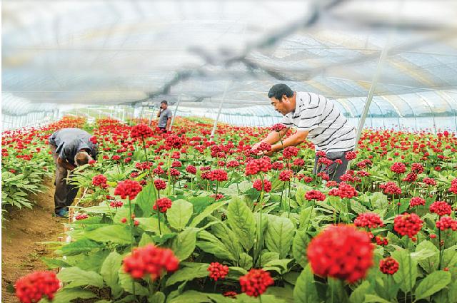 Рабочие осматривают цветущий женьшень в теплице, Фусун.